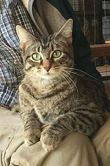 Domestic Mediumhair Cat for adoption in Wagoner, Oklahoma - Sadie