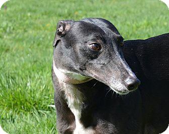 Greyhound Dog for adoption in Portland, Oregon - Prada