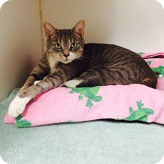 Domestic Shorthair Cat for adoption in Oakland, New Jersey - Carli