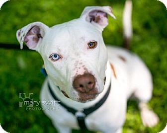 Terrier (Unknown Type, Medium)/American Pit Bull Terrier Mix Dog for adoption in Reisterstown, Maryland - Bowie