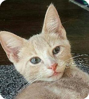 Domestic Shorthair Cat for adoption in Fenton, Missouri - Buffer