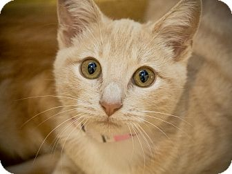 Domestic Shorthair Kitten for adoption in Los Angeles, California - Giza