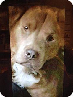 Chesapeake Bay Retriever Dog for adoption in Freeport, New York - Bear