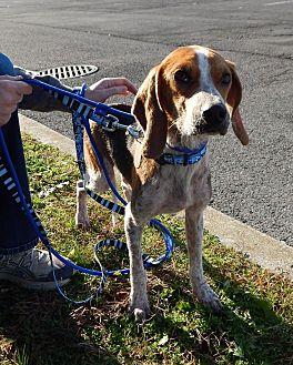 Treeing Walker Coonhound Mix Puppy for adoption in Washington, Pennsylvania - Granger