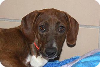 Dachshund/Chihuahua Mix Dog for adoption in Salem, Massachusetts - Dakota