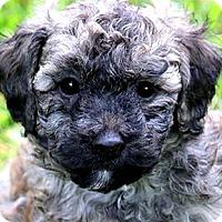 Adopt A Pet :: ALEX(TINY BICH-POO-OUR CUDDLER - Wakefield, RI