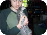 Domestic Shorthair Kitten for adoption in Grand Rapids, Michigan - LV Love Bug