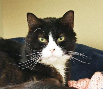 Domestic Shorthair/Domestic Shorthair Mix Cat for adoption in Bellevue, Washington - Papaya