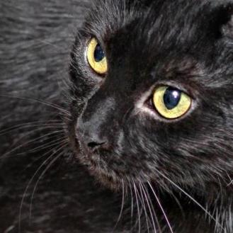 Domestic Shorthair/Domestic Shorthair Mix Cat for adoption in Des Moines, Iowa - Misty