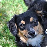 Adopt A Pet :: Belleh - Fairfax Station, VA