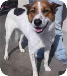 Akita/German Shepherd Dog Mix Dog for adoption in Las Vegas, Nevada - GOMER