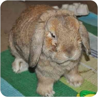 Mini Lop Mix for adoption in Huntsville, Alabama - Guinness