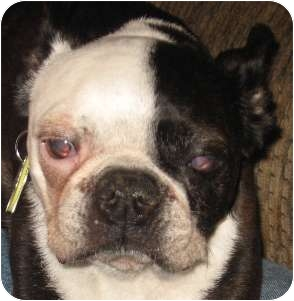 Boston Terrier Dog for adoption in North Augusta, South Carolina - KLEA