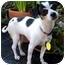 Photo 1 - Chihuahua/Fox Terrier (Toy) Mix Dog for adoption in petaluma, California - Tina