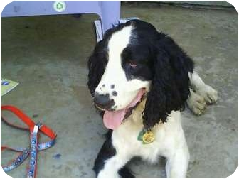 English Springer Spaniel Dog for adoption in Rochester, New Hampshire - Rally