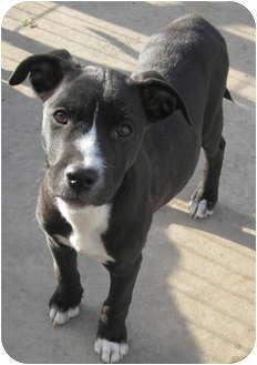 American Bulldog/Boxer Mix Puppy for adoption in Copperas Cove, Texas - Rosie