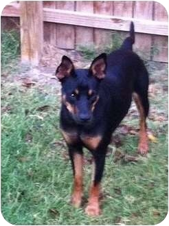Manchester Terrier/Shepherd (Unknown Type) Mix Dog for adoption in White Settlement, Texas - Sugar - adopt pend