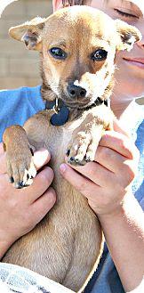 Chihuahua/Miniature Pinscher Mix Puppy for adoption in Temecula, California - Mason