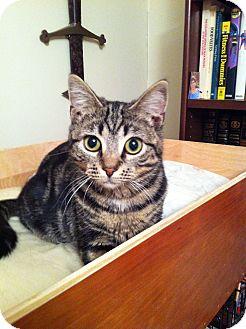 Domestic Shorthair Kitten for adoption in Portland, Maine - Gabby