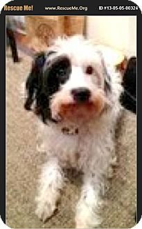 Havanese/Poodle (Miniature) Mix Dog for adoption in Boulder, Colorado - Faith