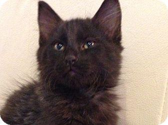 Domestic Longhair Kitten for adoption in Daisy, Georgia - Fuzzy *Courtesy*