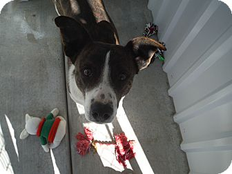 Cattle Dog Mix Dog for adoption in McIntosh, New Mexico - Watson