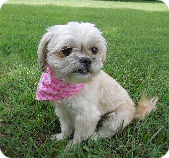 Shih Tzu Mix Dog for adoption in Charlotte, North Carolina - Daisy Mae