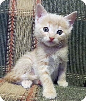 Domestic Shorthair Kitten for adoption in Marseilles, Illinois - Paige's Buff Kitten