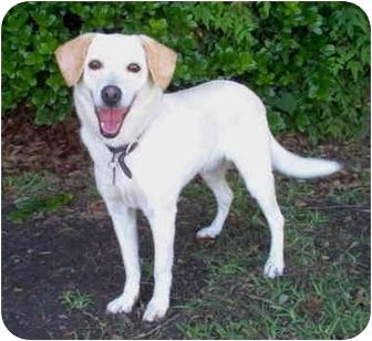 Labrador Retriever Mix Dog for adoption in Carrollton, Texas - Baby