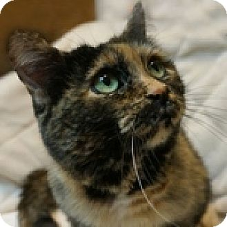 Domestic Shorthair Cat for adoption in Wheaton, Illinois - Tilly