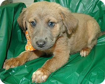 Shepherd (Unknown Type) Mix Puppy for adoption in Spring City, Pennsylvania - Wendy
