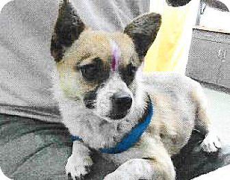 Chihuahua Mix Dog for adoption in Spokane, Washington - Sasha