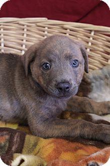 Shepherd (Unknown Type)/Labrador Retriever Mix Puppy for adoption in Waldorf, Maryland - Oliver