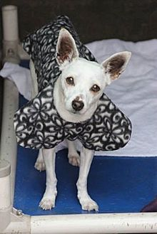 Chihuahua Mix Dog for adoption in Chino, California - Cami