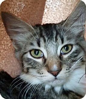 Domestic Mediumhair Cat for adoption in Mountain Center, California - Clawd