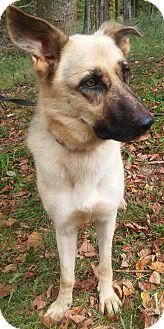 German Shepherd Dog Dog for adoption in Louisville, Kentucky - Fergie