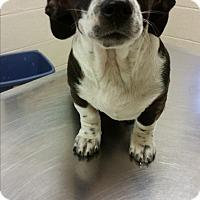 Adopt A Pet :: Lil Elvis - Wilmington, DE