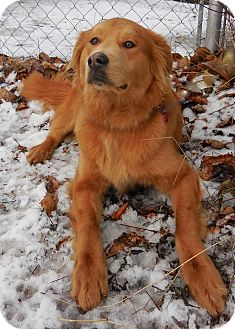 Golden Retriever/Husky Mix Dog for adoption in Anchorage, Alaska - Earl