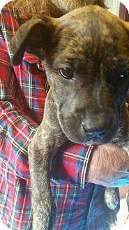 Boxer/Labrador Retriever Mix Puppy for adoption in Hampton, Virginia - JOE BOXER