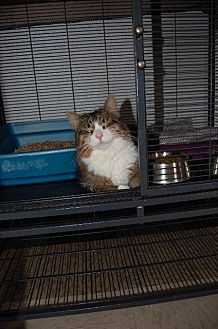 Domestic Shorthair Cat for adoption in Brainardsville, New York - Lila