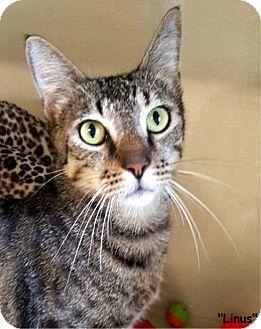 Domestic Shorthair Cat for adoption in Key Largo, Florida - Linus