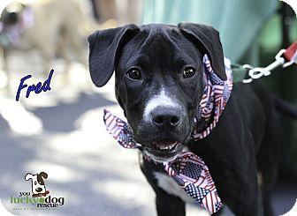Labrador Retriever/Boxer Mix Puppy for adoption in Alpharetta, Georgia - Fred