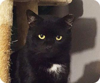 Bombay Cat for adoption in New York, New York - BEAR-Gentle Furry Buddy'15