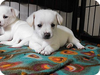 Chihuahua Mix Puppy for adoption in Mooresville, Indiana - 3 male chihuahua mixes