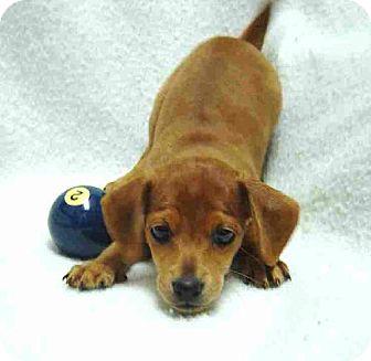 Dachshund/Chihuahua Mix Puppy for adoption in Texarkana, Texas - Tuffy ADOPTED TX