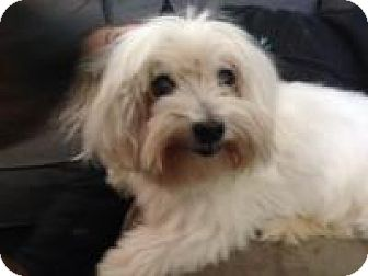 Maltese Dog for adoption in Marlton, New Jersey - Rocky