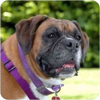 Boxer Dog for adoption in Tacoma, Washington - Brie
