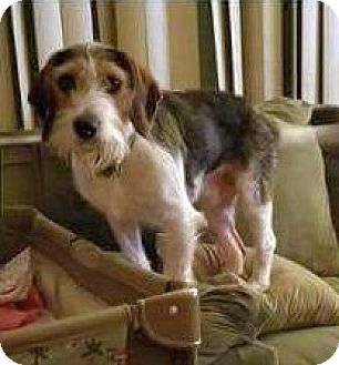 Wirehaired Fox Terrier/Beagle Mix Dog for adoption in Columbus, Ohio - Camper