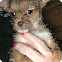 Adopt A Pet :: Greta - Kimberton, PA