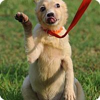Siberian Husky/Collie Mix Puppy for adoption in Dayton, Maryland - Blanca
